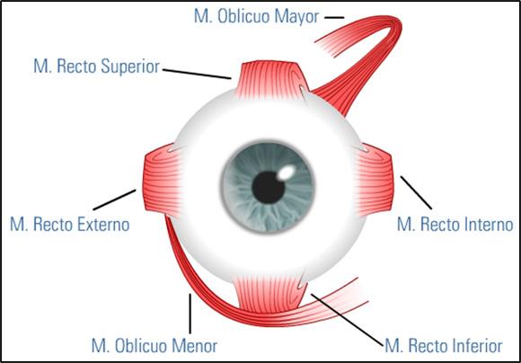 Panamericano de Ojos » Músculos del Ojo Humano