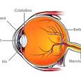 anatomia-ojo